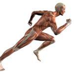 Come lavorano i nostri muscoli durante la corsa?